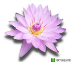 Nymphaea General Pershing Pink Tropical Water Lily Tuber Live Pond Plant Bulb