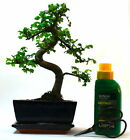 Chinese Elm Bonsai Tree - Choose your size and options Angebot kaufen