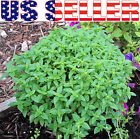 100+ ORGANICALLY GROWN Spicy Globe Basil Seeds Asian Heirloom NON-GMO Fragrant