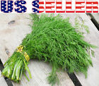 200+ ORGANICALLY GROWN Mammoth Long Island Dill Seeds Heirloom NON-GMO Fragrant