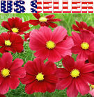 200+ Carmine Red Cosmos Dazzler Flower Seeds Annual Crimson Sensation bipinnatus