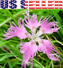 250+ Fringed Pinks Flower Seeds Dianthus Superbus Rose Perennial Carnation USA