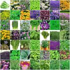 ORGANICALLY GROWN Mint Herb Seeds VARIETIES TO CHOOSE FROM Top Quality Heirloom