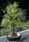 "Dawn Redwood Bonsai Tree (metasequoia glyptostroboides) 8 yrs 13""-16"" tall"