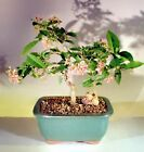 "Indoor Bonsai Flowering Dwarf Weeping Barbados Cherry Bonsai Tree small 7 yr 7""T"