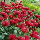 MONARDA~GARDENVIEW SCARLET~FRAGRANT RED BEE BALM HUMMINGBIRD MAGNET LIVE PLANT
