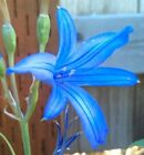 WILD BLUE AMARYLLIS HARDY FLOWER BULBS PLANT OUTDOOR GARDEN SPRING BLOOMS UNIQUE