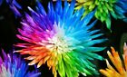 25-50-100-200 Rainbow Chrysanthemum Flower Seeds - Buy Any 3 Get 1 FREE