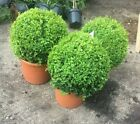 Established Buxus / Box Topiary - Large Plants for an Instant Garden!