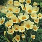 CROCUS~CREAM BEAUTY~PERENNIAL FLOWER BULBS PLANT NOW FOR EARLY SPRING FLOWERS!!!