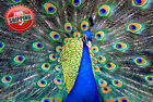 "Animal Bird Peacock Poster Print Wall Art Premium Modern Picture Photo 14"" x 10"""