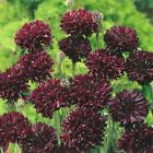 Cornflower Black Ball - Annual Flower Seeds