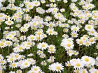 Daisy & Clover Heritage Lawn Grass Seed Cottage garden hard wearing 500g to 20kg