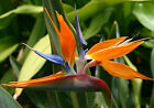 Bird of Paradise Type Soap / Candle Making Fragrance Oil 1 - 16 Ounce