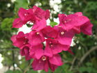 Bougainvillea San Diego Red Live Plant 5-9 Inch Tall 6-12 Month Old from Cutting