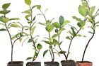 Star Jasmine Live Plant Potted 3-6 Inch Confederate Jasmine 6-12 Months Old