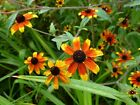Rudbeckia Red Sport Annual Flower Seeds