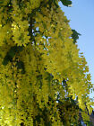 Laburnum Anagyroides, Golden Chain Hardy Tree 20/100/500 Seeds From USA
