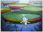 Victoria water lily 5-200 Seeds ,Victoria Amazonica,Giant Water Lily, s#1