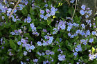 Omphalodes cappadocica 'Starry Eyes'- garden tested, hardy perennial plant