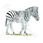 Vinyl Sticker Decal for Home Car and Kitchen Art Decor - Wildlife - Zebra