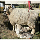 Bearin Prolapse Harness - suits sheep and goats