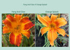 Daylily Seeds - Named Variety Daylily Seed Crosses - You Choose the Parents