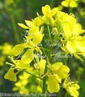Brassica juncea Indian Mustard Garden Seeds Mildly Spicy Mixed Greens or Alone