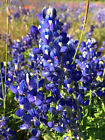 Native Texas Bluebonnet Seed - Wholesale direct (3500 seeds $25) FREE SHIPPING!