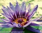 Nymphaea nouchali stellata Blue Star Lotus Water Lily Seeds Aquatic Plant