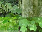 Acer pensylvanicum Striped Maple Tree Seeds Patterned Bark Drought Tolerant
