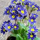 Blue Evening Primrose Seeds Rare Oenothera Biennial Flowers Seeds Home MY8L