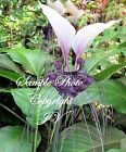 Tacca integrifolia White Bat Flower seeds Attracts Butterflies Rare Unique
