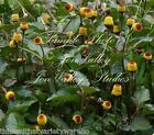 Spilanthes acmella oleracea Tropical Herb Toothache Plant Bright Yellow Flowers