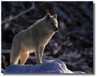 Grey Wolf On Snowmound On Treed Mountain Ruane Manning Wall Art Print Picture
