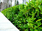 Cherry Laurel Fast Growing Evergreen Hedging 2-3ft Tall Multi-Stemmed Plants