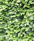 Beech Hedging - Fagus sylvatica  (Tree Saplings/Seedlings)