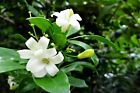 Murraya paniculate Orange Jasmine Seeds Great potted Tropical Multi-use Plant