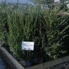 Taxus Baccata Yew Hedging 100-125cm Rootballed