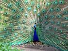 BEAUTIFUL PEACOCK GLOSSY POSTER PICTURE PHOTO peafowl peahen colorful bird 1630