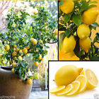 10Pcs Rare Lemon Tree Indoor Outdoor Available Heirloom Fruit Seeds Love Garden