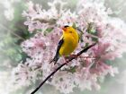 American Goldfinch on Soft Spring Lilac Flower Matted Picture Fine Print A681