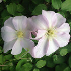 Clematis Jeanne's Pink New Variety Climbing Plant
