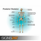 EDUCATIONAL POSTERIOR SKELETON POSTER SET (1052) Poster Print Art A1 A2 A3 A4