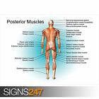 EDUCATIONAL POSTERIOR MUSCLE POSTER SET (1050) Poster Print Art A0 A1 A2 A3 A4
