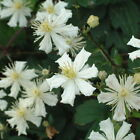 Clematis Fargesioides Summer Snow White Scented Climbing Plant
