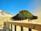 Kea Parrot New Zealand National Geographic Wall Print POSTER