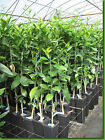 Grafted Citrus Trees Orange Lemon Lime Tangerine Grapefruit Mandarin  + Dwarf