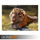 HAPPY SUMATRAN TIGER (3808) Animal Photo Picture Poster Print Art A0 A1 A2 A3 A4