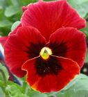Pansy Seeds - Viola Swiss Giant RED - No garden is complete without red Pansy